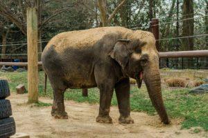 """القتل الرحيم و""""كورونا"""" يضاعفان الحزن على الفيل المحبوب """"أمبيكا"""" في واشنطن"""