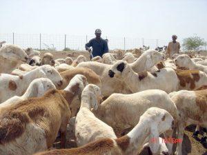 بدء تصدير (10)آلاف رأس من الضأن الحي للسعودية