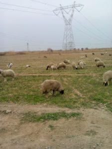 """استئناف صدار الماشية للملكة السعودية بــ"""" 10″ آلاف راس من الضأن"""